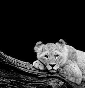Lion, Hagenbeks Tierpark, 2012