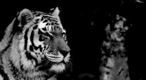 Tiger, Singapore Zoo, 2011